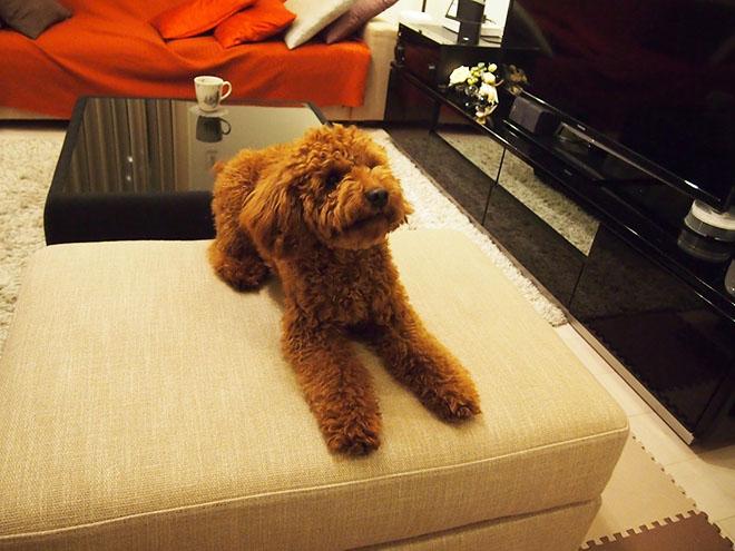 愛犬のテディは、「ペットショップで初めて見たとき『テディベアみたい』と一目惚れして、家族の一員になりました」Mさん。リビングでのびのびと暮らしている。